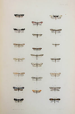 Antique Victorian Moth Print by Rev. Morris, Hand Coloured Engraving (ref 99)