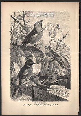 Group Of Finches Birds Original c1895 Print