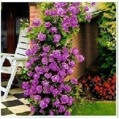 1 Purple Fragrant Climbing Bush Rose Bare Rooted Grden Plant
