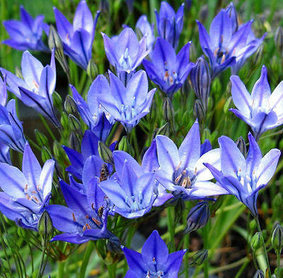 Triteleia Queen Fabiola 20 Bulbs Early Summer Flowering Ready To Dispatch