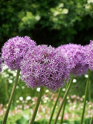 Allium Gladiator 3 Bulbs Summer Flowering Ready To Dispatch