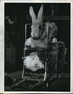 1961 Press Photo Guinea Pig & Rabbit From London's Crystal Palace Zoo