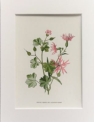 Pink Ragged Robin - Mounted Antique Botanical Wild Flower Print 1880s by Hulme