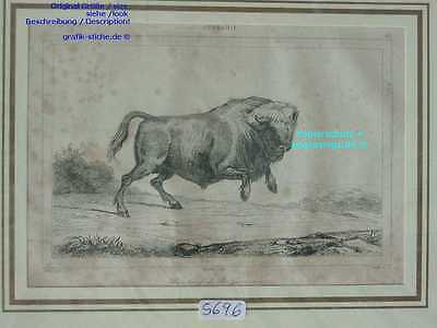 5696-Bison-Buffalo-oder/ or Rind-Stier-Bull-S-1838