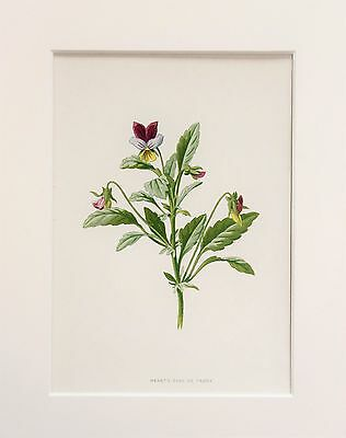 Heartsease Pansy - Mounted Antique Botanical Wild Flower Print 1880s by Hulme