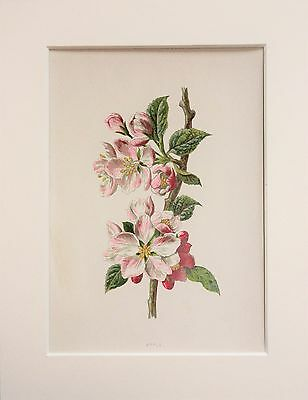 Wild Apple Blossom - Mounted Antique Botanical Wild Flower Print 1880s by Hulme