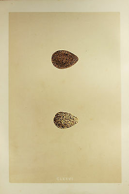 Speckled Bird Eggs - 1850s Antique Hand Coloured Print - Morris - Sandpiper (2)