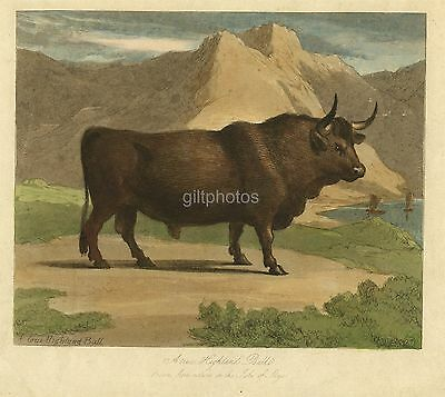 Highland Bull On Skye Scotland - Colour Copperplate Engraving c19th