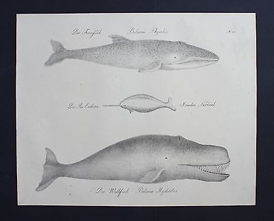 1816 - Walfisch Wal Finnwal whale Inkunabel Lithographie Brodtmann lithograph
