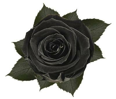 6x Preserved Black Roses 100% Fresh Natural Real Flower last years