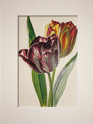 Purple Tulip. - Mounted Antique Botanical Flower Print 1880s by Hulme
