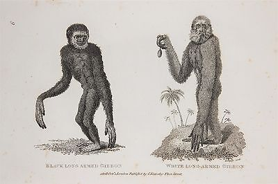 Gibbon Ape - c.1805 Antique Natural History Print by Shaw