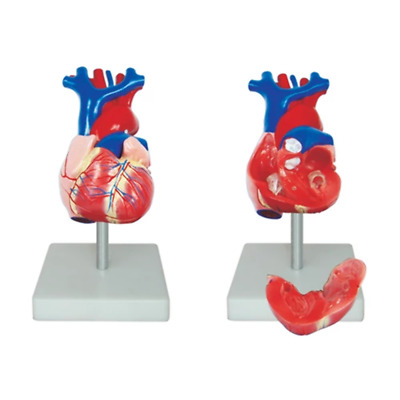 66fit Anatomical Life Size Heart Model - Medical Training Aid