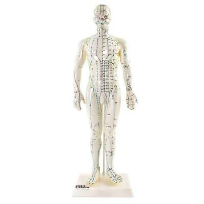66fit™ Male Acupuncture Model - 50cm - Pressure Point and Meridians