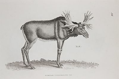 Elk - c.1805 Antique Natural History Print by Shaw