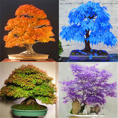 20X Lot Blue Japanese Maple Tree Bonsai Seeds Acer Palmatum Atropurpureum Plant