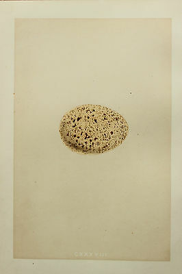 Speckled Bird Eggs - 1850 Antique Hand Coloured Print - Morris - Capecaillie