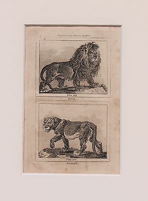 Buffon Antique Mounted Print c.1800 - Engraving - Lions, Lioness