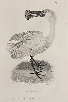 Spoonbill etc c.1805 Antique Natural History Print by Shaw.