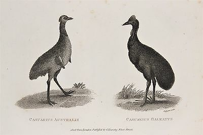 Cassowary Bird c.1805 Antique Natural History Print by Shaw.