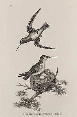 Hummingbird Humming Bird c.1805 Antique Natural History Print by Shaw