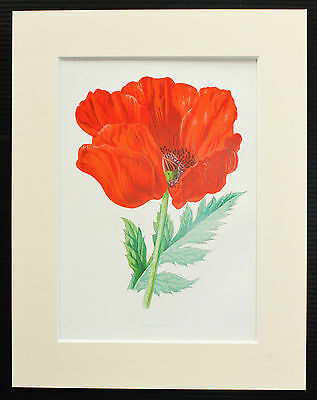 Oriental Poppy - Mounted Antique Botanical Flower Print 1880s by Hulme