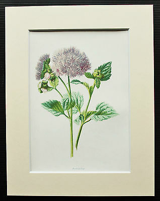 Ageratum - Mounted Antique Botanical Flower Print 1880s by Hulme