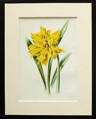 Double Trumpet Daffodil - Mounted Antique Botanical Flower Print 1880s by Hulme