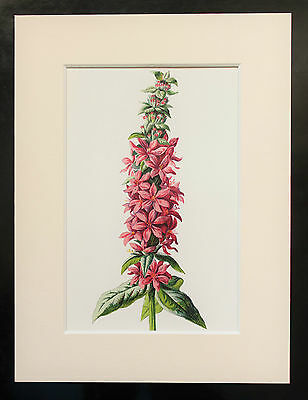 Purple Loosestrife - Mounted Antique Botanical Flower Print 1880s by Hulme