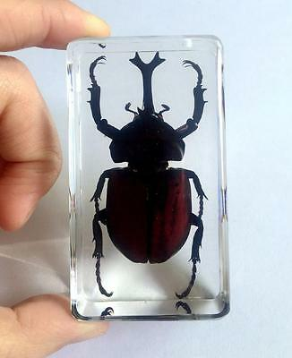 T-01 Real Rhinoceros Beetle Insect Specimens In Lucite Paperweight Crafts