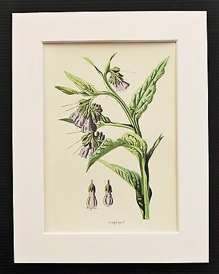 Comfrey - Mounted Antique Botanical Flower Print 1880s by Hulme