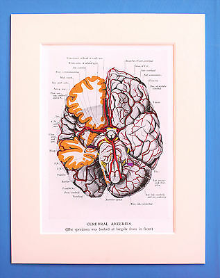 1930s Vintage Anatomy Print - Anatomical - Colour - Mounted - Cerebral Arteries