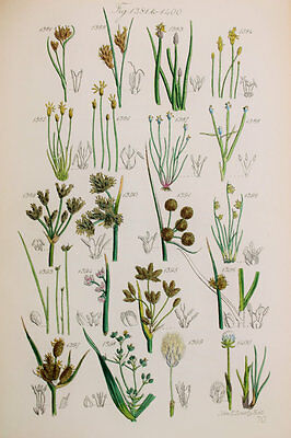 Rushes etc - James Sowerby Antique Botanical Wild Flower Print 1870s - 1381