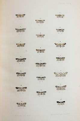 Antique Victorian Moth Print by Rev. Morris, Hand Coloured Engraving (ref 129)