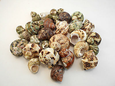 """30 Assorted Turbo Hermit Crab Shells Lot 3/4""""-2"""" size (opening 5/8""""-1"""") Seashell"""