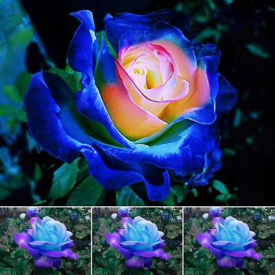 Hot Sell Beautiful Blue-Pink Rose Flower Seeds Home Garden Plants Rare 50Pcs