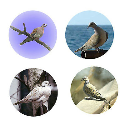 Turtledove Magnets: 4 Cool Turtledoves 4 your Fridge or Collection-A Great Gift