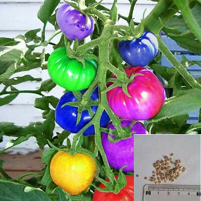 100Pcs Rare Rainbow Tomato Seeds Ornamental Potted Organic Vegetable Fruit Seeds