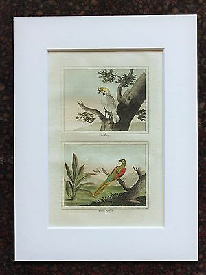 Buffon Antique Mounted Hand Coloured Print c.1800 Engraving - Cockatoo-Parrot