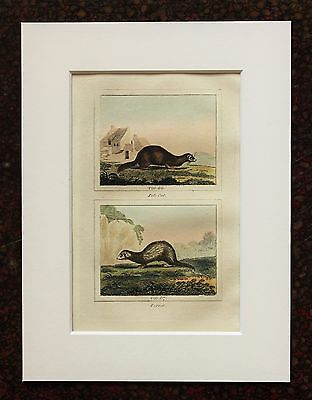 Buffon Antique Mounted Hand Coloured Print c.1800 - Engraving - Polecat-Ferret