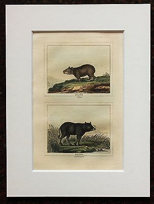Buffon Antique Mounted Hand Coloured Print c.1800 - Engraving - Warthog-Capybara
