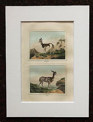 Buffon Antique Mounted Hand Coloured Print c.1800 - Engraving -Deer-Antelope.
