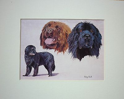 Newfoundland By Philip Ball Dog Art Card Print Mounted 10 X 8 Inch