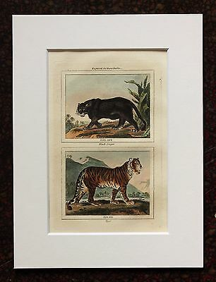 Buffon Antique Mounted Hand Coloured Print c.1800 - Black Panther-Tiger
