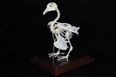 pigeon doves skeletons,with case and base,good taxidermy, specimen