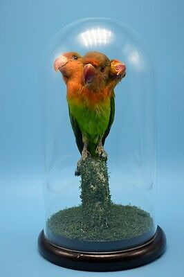 taxidermy 3 headed freak Parrot man made, mounted in glass dome free P&P