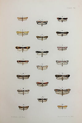 Antique Victorian Moth Print by Rev. Morris, Hand Coloured Engraving (ref 105)
