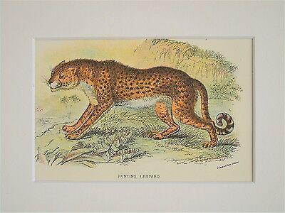 Cheetah - Mounted Antique Animal Big Cat Print Victorian Lithograph