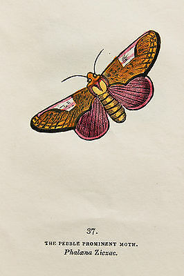 Antique Moth Print, 1843 Hand Coloured Copper Plate Engraving by Cpt. Brown