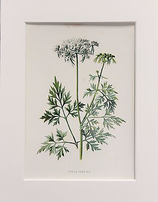 White Fools Parsley - Mounted Antique Botanical Wild Flower Print 1880s by Hulme